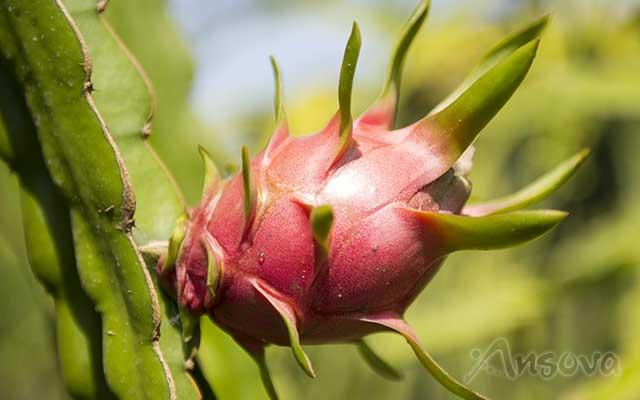 dragon-fruit-VietNam
